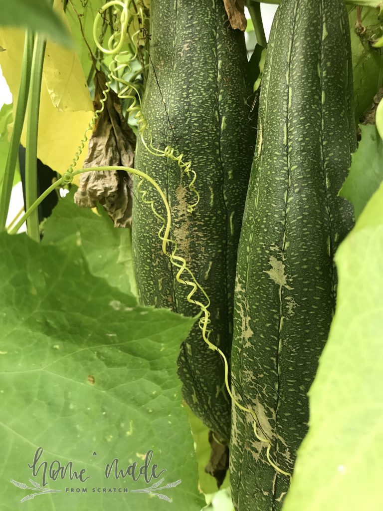 loofah growing in garden