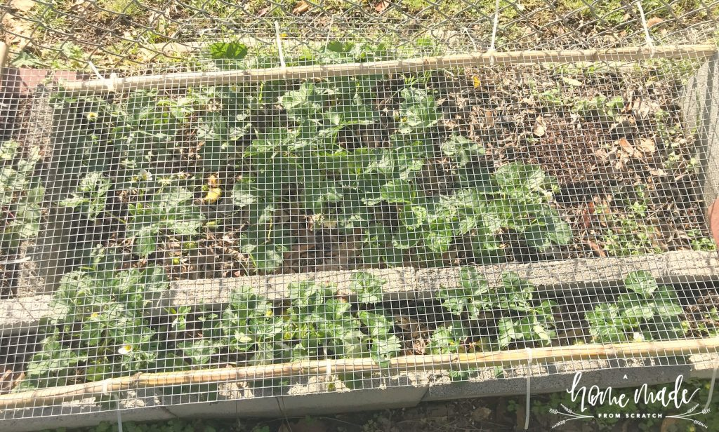Putting hardware cloth over strawberry patch to protect from dogs and squirrels