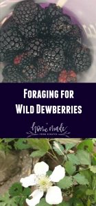 Learn how to forage for wild dewberries for a delicious treat. Easy to identify and fun to find.