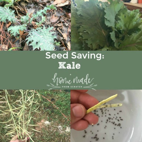 Save seeds from your kale. Its easy and saves money!