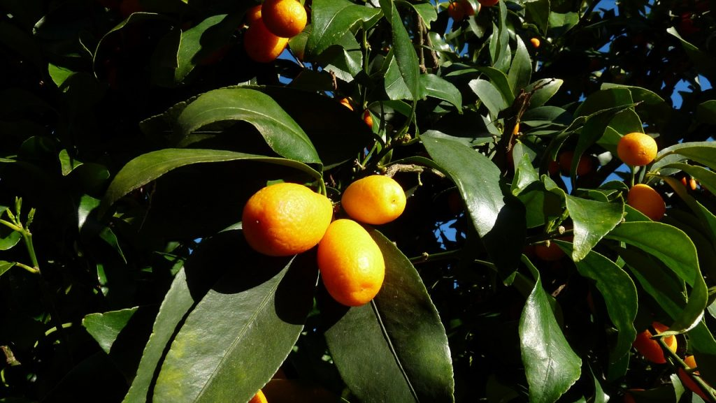 Kumqauts are citrus fruits to grown on your homestead.