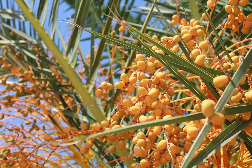Pindo palms are a decorative landscaping tree popular in the south that can also produce tons of delicious fruit. Also known as the jelly palm tree for the wonderful jelly people make with the fruits.