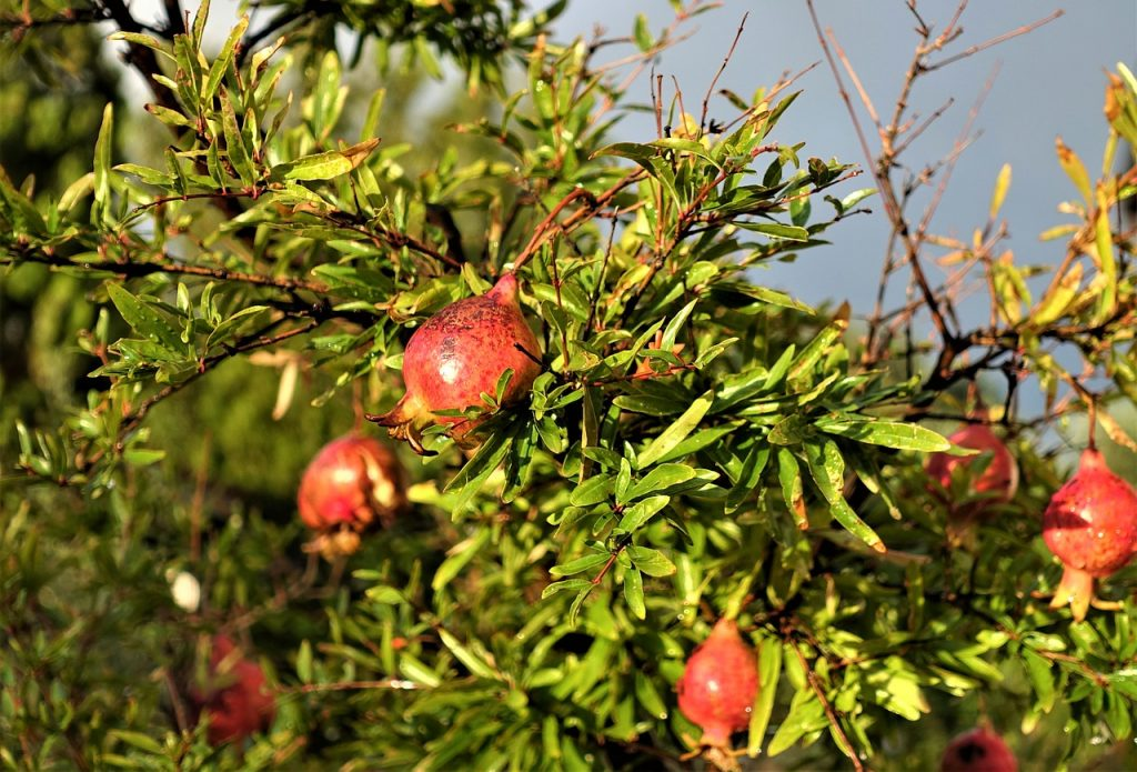 Pomegranate tree to grow wonderful super fruit on your homestead