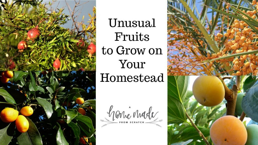 Grow fun and unusual tasty fruits on your homestead.