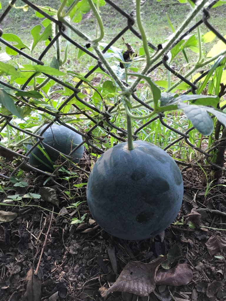 Watermelon are easy to grow and very tasty