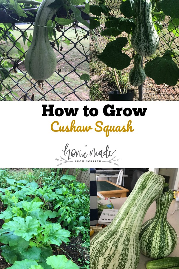Learn how to grow a little known but delicious and prolific native winter squash