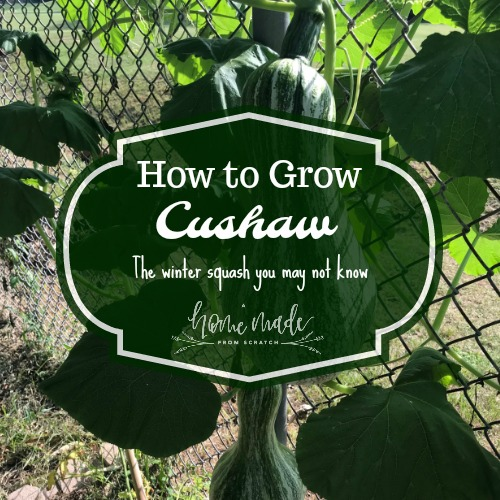 Learn how to grow this unusual but delightful winter squash