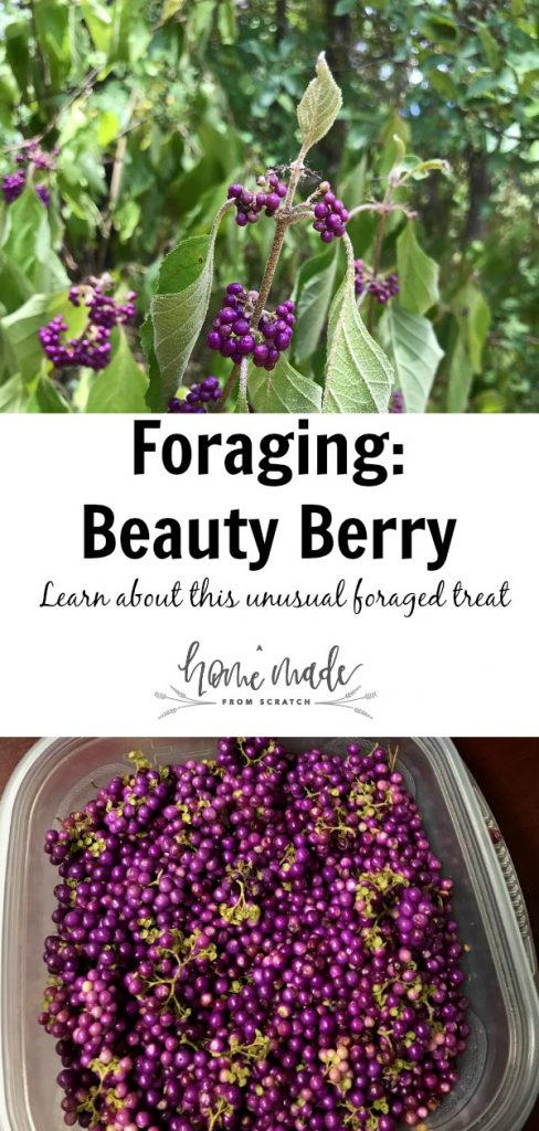 Learn about how and where to forage for american beauty berry