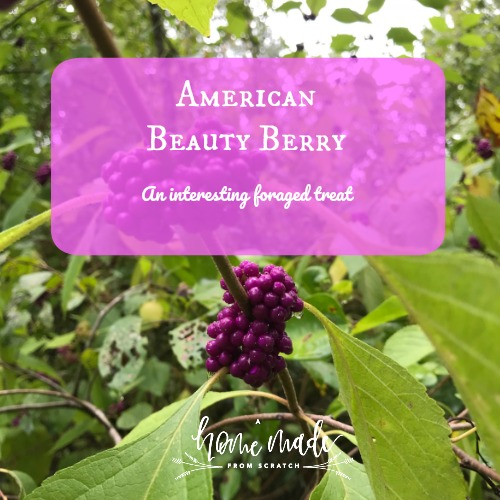 Learn about foraging and using american beauty berry
