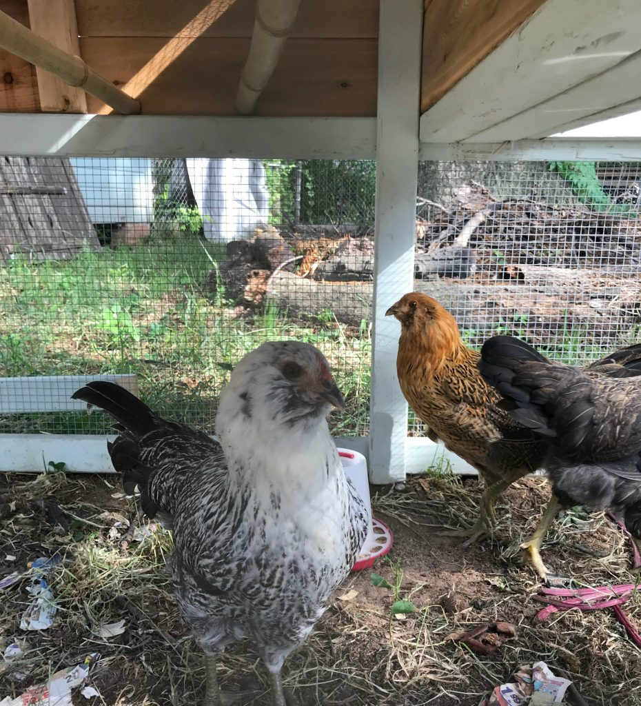 chickens in the chicken tractor