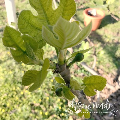 Growing fig trees is easy, learn more about how!