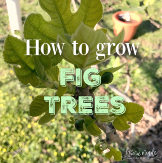 Learn about how to grow fig trees