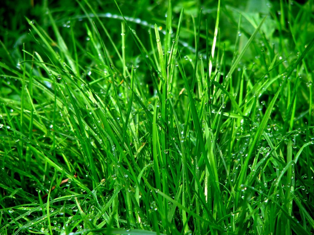 Grow luscious ryegrass in your yard over the winter