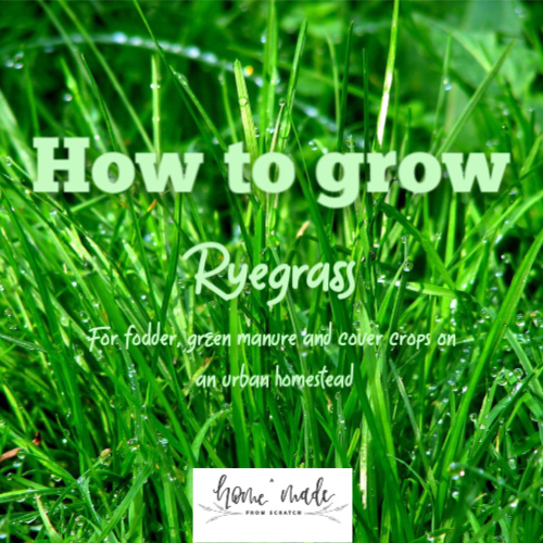 Learn how to grow ryegrass as a cover crop and chicken feed