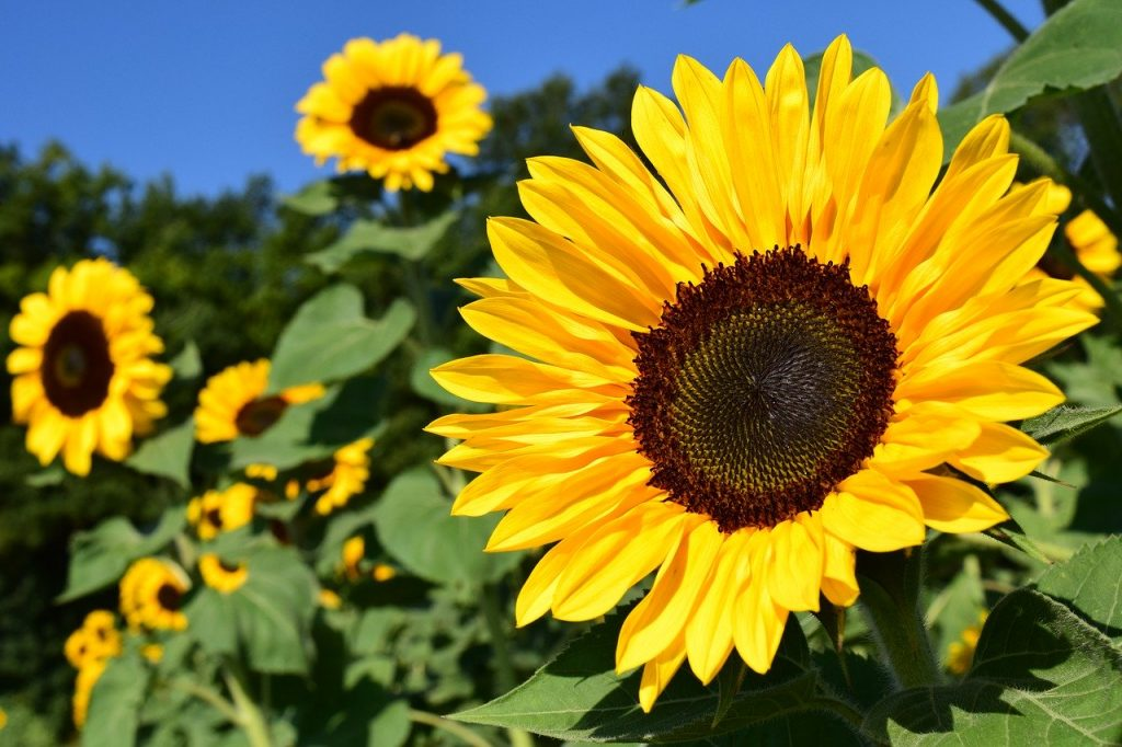 Selecting plants for zone 8, sunflowers are perfect!