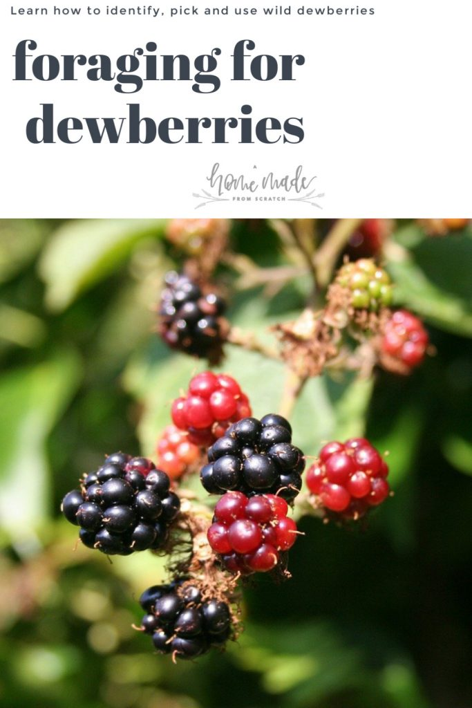 foraging for wild dewberries is easy and tasty!