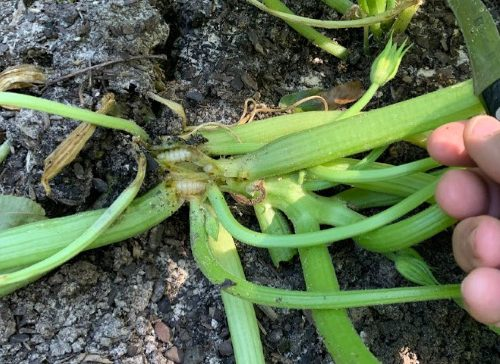 squash vine borers are insect pests in the garden