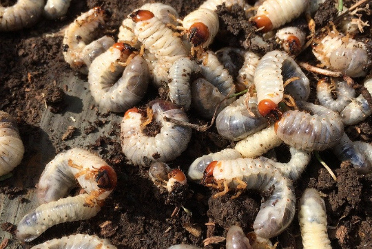 grub worms are a common pest for lawns but also some vegetable gardens