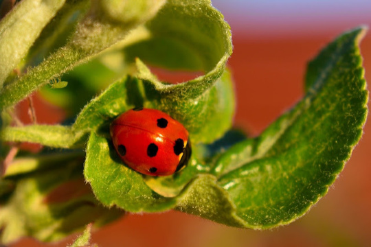 ladybugs are helpful insects in the garden