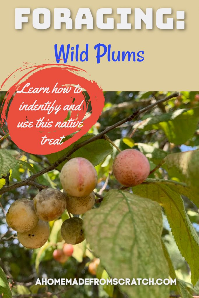 foraging for wild plums