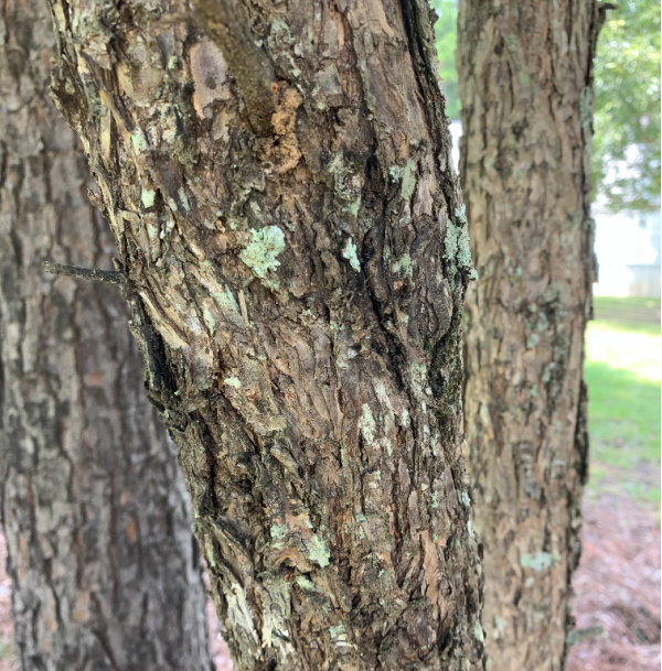 wild plums tree bark is helpful to identify