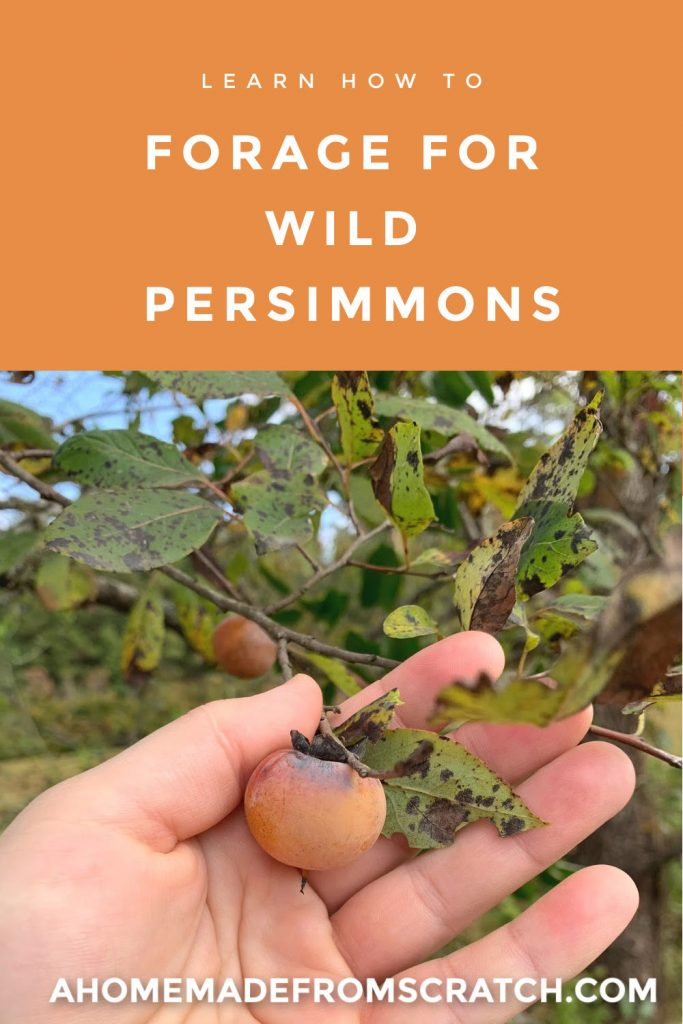 learn how to identify and enjoy native wild persimmons
