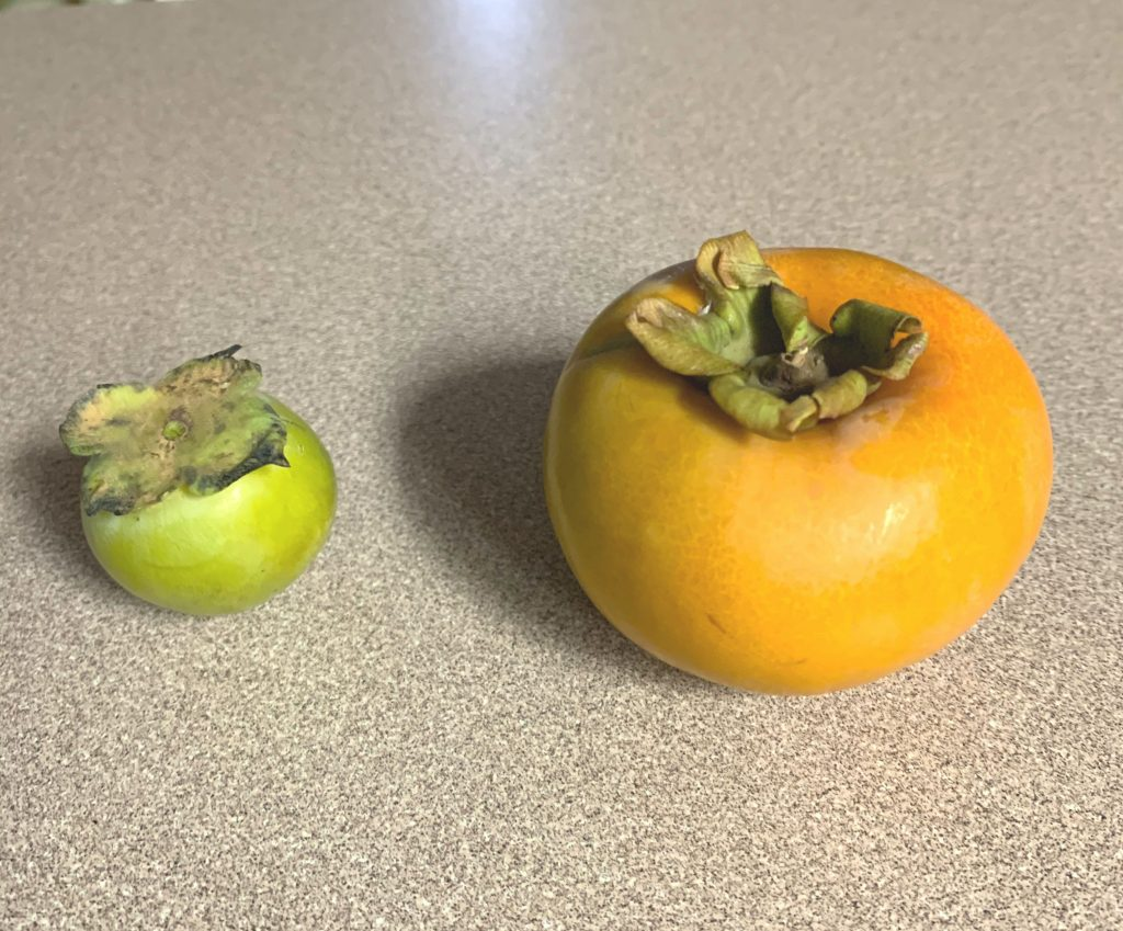 persimmons, wild on the left and asian cultivated ones on the right