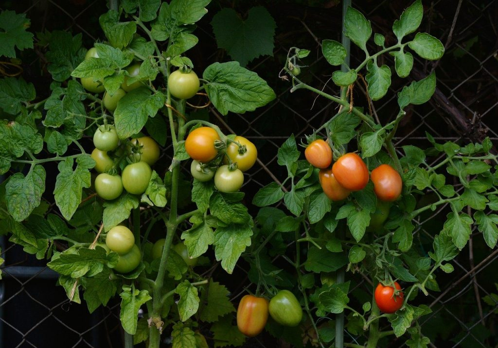tomatoes are fun to grow in the garden and make excellent home grown food