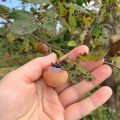 wild persimmons are delicious and easy to find