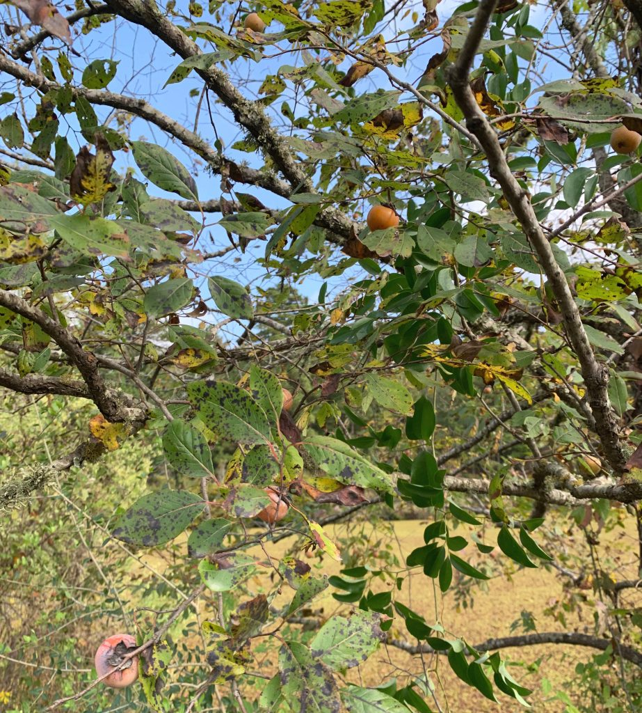 wild persimmon tree with visible fruit, the bark and leaves are visible. found in fall