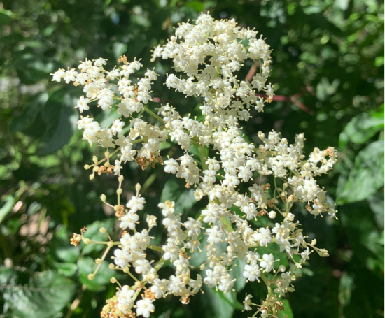 elderflower, excellent for foraging and making tonics and liquer