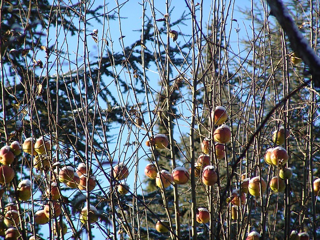 apple trees in the winter